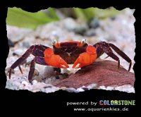 Mouse Pad with red crab by COLOR...